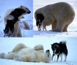 polar-bear-001