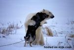 polar-bear-and-husky-playing