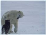 polar bear husky_friend2