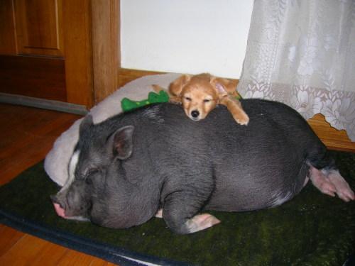 No Pot Bellied Pigs In Winnipeg Markosun S Blog