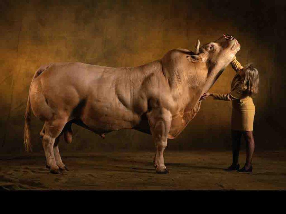 bull13