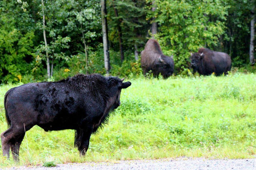 bull5