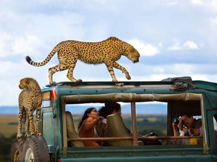 ng cheetah 2