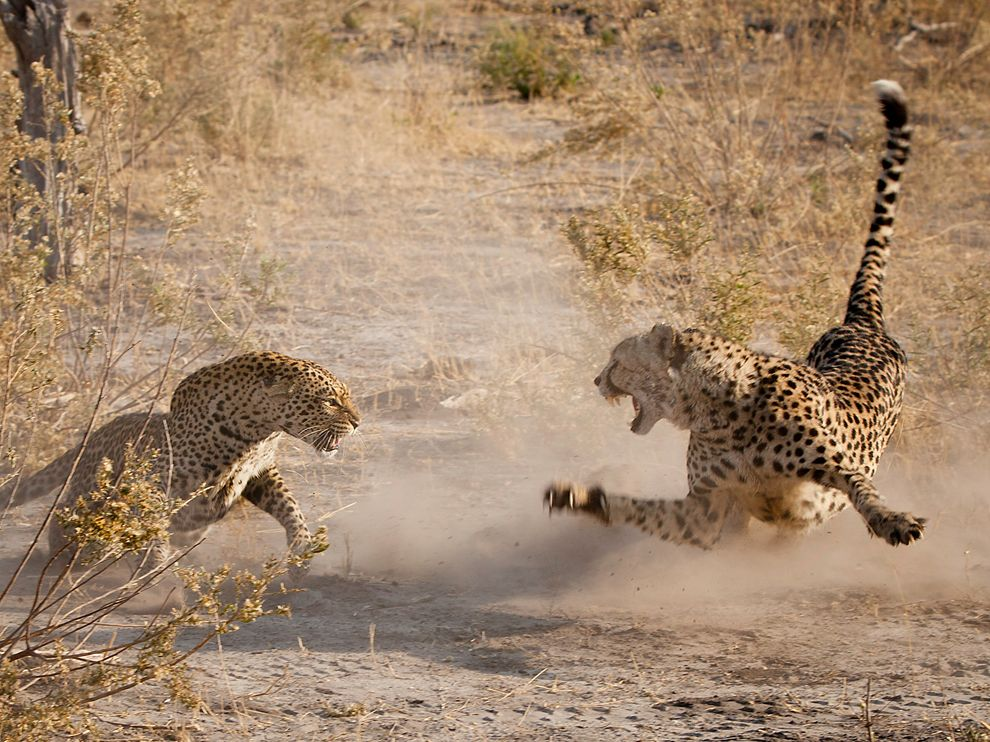 ng cheetah and leopard botswana