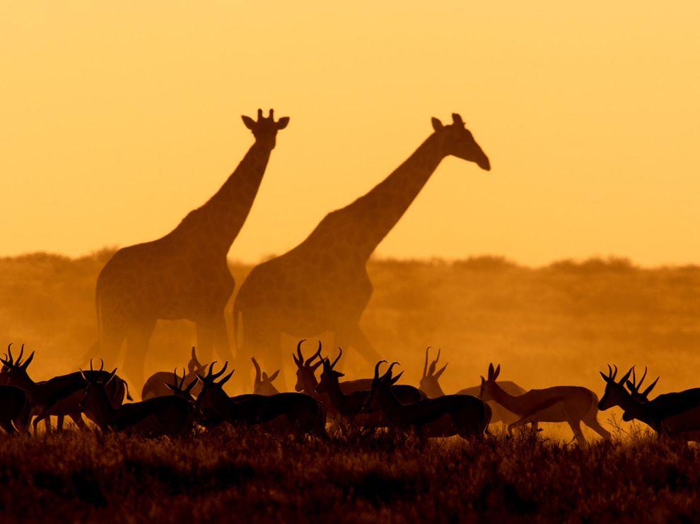 ng giraffes-gazelles-namibia_