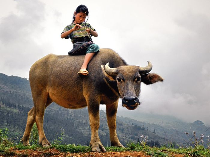 ng hmong-child-buffalo_vietnam