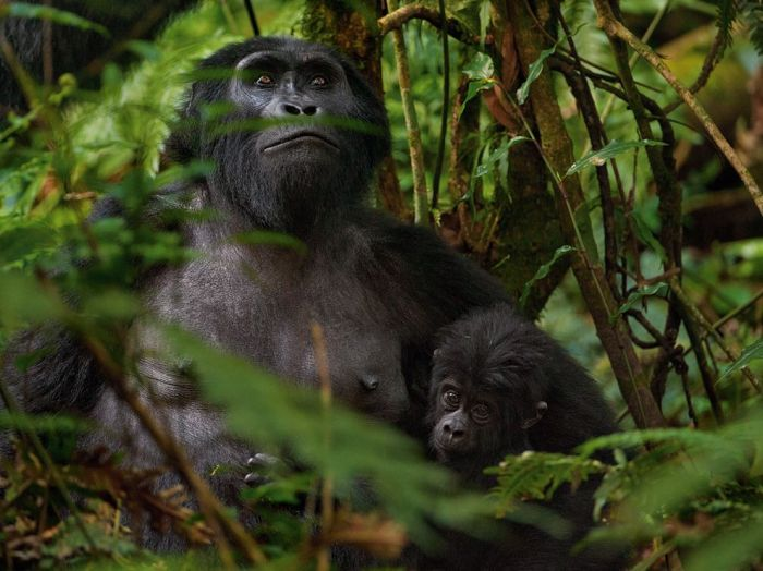 ng mountain-gorillas-africa-sartore