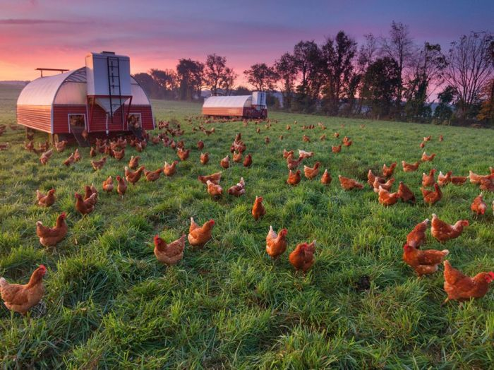 ng penn chicken farm