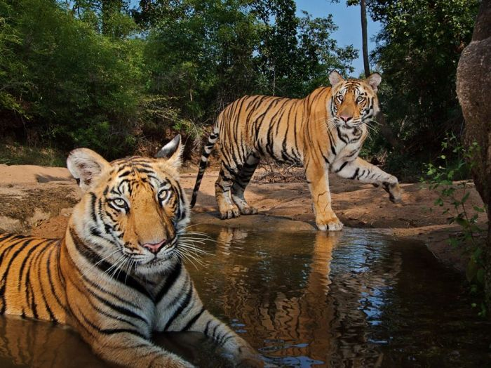 ng tigers-watering-hole-winter_ india