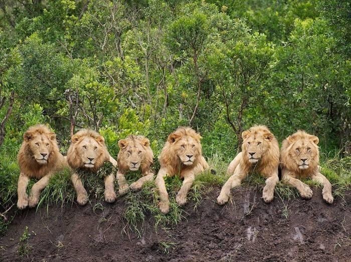 ngresting-lions-tanzania_56400_990x742