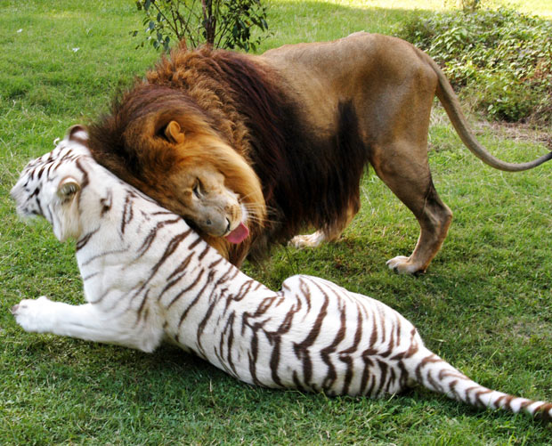 lion-and-tiger_1973835i