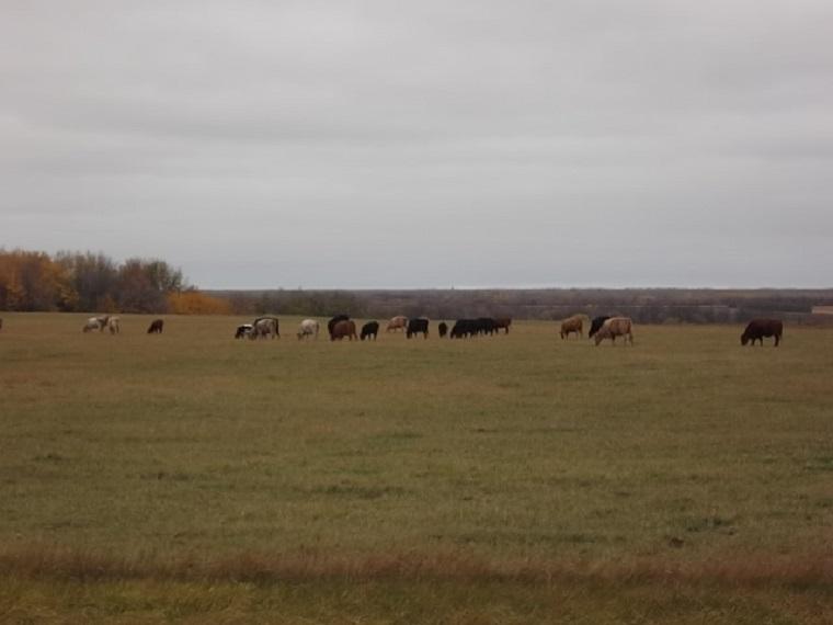 windmill cows