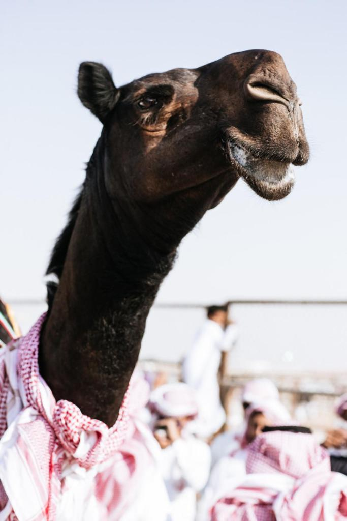 camel-beauty-contest-625-1450888515-size_1000