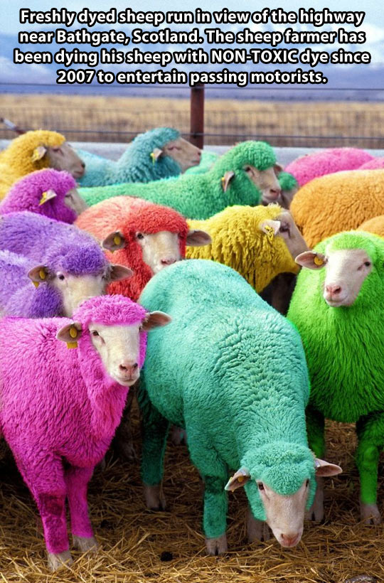 cool-sheep-colors-dyed-farmer