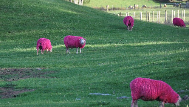 SOLENT: IN THE PINK! Ewe must be kidding! Visitors at a nature park thought they were going baarmy when they spotted these sheep - with pink wool. The extraordinary flock is causing a sensation at SheepWorld, near Auckland, New Zealand. Park bosses originally dyed the animals with harmless food colouring as part of breast cancer awareness week. Photographer Samuel Zoll took these photos of the bizarre scene when he visted Sheepworld. Pic: Samuel Zoll/solent © Samuel Zoll/solent UK +44 (0) 2380 458800