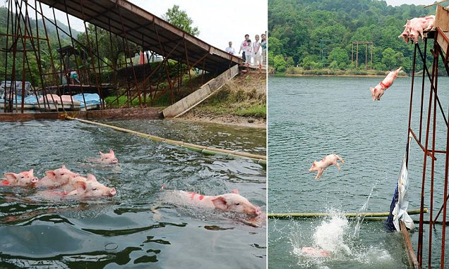 "Pic shows: Pigs jump off a platform into the lake and swim towards the finish line. Tourism officials have rejected criticism of a bizarre stunt that involved forcing piglets to jump into the water from a huge platform as being cruel. The bizarre event was organised to entertain visitors at one of China's most popular scenic spots and was instantly a sell-out success. In the performances slated to take place every hour tourists crowded alongside a platform alongside the shores of Shiyan Lake to see the piglets jumping into the water. The lake is a popular holiday spot in Changsha, capital of central Chinaís Hunan Province, and see 10 pigs jump off a platform into the lake and swim towards the finish line. But after the images were posted online tourism chiefs resort the flow of complaints that the event was cruel. Organiser Shi Huang said: ""The piglets are carefully trained to perform this special stunt and they get well rewarded with food and once they get over their nerves they clearly enjoyed it. Anybody who says it is cruel is clearly not well informed that pics like water."" But online commentators highlighted the fact that in some of the photos staff from the tourism destination could be seen using a board to force the piglets into the water. And many others made comments like Lok Chiang who said: ""This was clearly animal abuse. It may well be the case that pics like water, but not jumping into it from the top of a huge platform. That just isn't natural for any pig is no way you can claim they enjoy it."" Once the pigs were in the water, they were then forced to swim for their lives because of bamboo barrier had been set up stopping them getting to the shore, and forcing them to race against each other to reach safe ground. Although it was set up as a May Day attraction, tourism officials say they want to make it a regular weekend event and are considering ways to expand the project. (ends)"