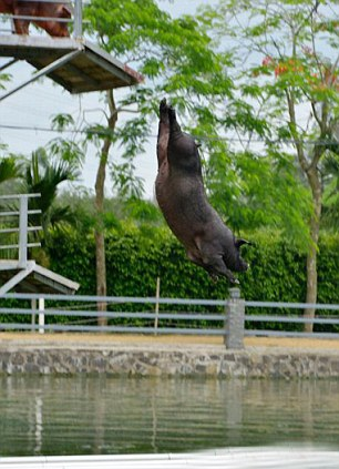 "A farmers crazy idea to give his pigs something to do to alleviate boredom by teaching them to dive has now become one of the latest fads in China. Chinese pig farmer Huang Demin of Ningxiang county in Hunan province discovered the giving the pigs a fun reason to exercise make them better and happier, and taste an awful lot better. It is long been recognised that pigs unlike other domesticated animals like cattle or sheep are extremely intelligent and in Europe for example it is now the law that they even need to be given toys to play with so they keep from getting bored. The idea of giving them a diving board was the Chinese equivalent, and farmer Huang argued that the pigs were not only happier but also healthier – less often coming down with disease. But now his idea for improving the lives of his pigs has become a major tourist attraction at several places around China such as this recreational park in Donglu Town in Wenchang City in southern China's special pig diving board has been created. The larger pigs are expected to make a bigger splash and also to dive from heights of up to 5 metres, while the smaller pigs that are getting used to diving can jump from lower heights such as a 3 metre or 1 metre board. And visitors can't seem to get enough of the daily spectacle on the purpose-built pig diving boards. One, Hui Lin, 38, said: ""It's just too funny for words, I never heard of such a thing as pig diving, so we decide we had to come to have a look for ourselves."" Although few of the pigs seem to enjoy diving at the start, and often need to be forced into the water, the trainers say that after a few attempts they soon get used to it and eventually can't get enough of the sport. As for the pig Farmer Huang, he says that he can sell the meat from his high diving happy pigs for three times the price of a normal pig."