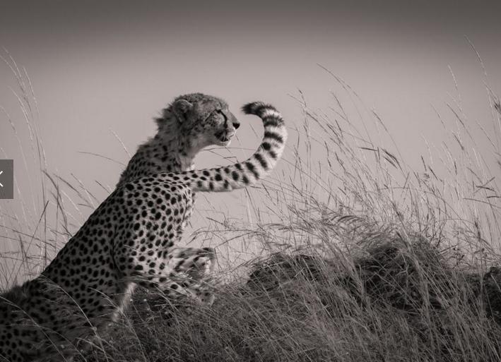 nat geo cheetah changing shifts