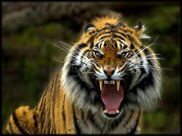 Sumatran-Tiger-585x439