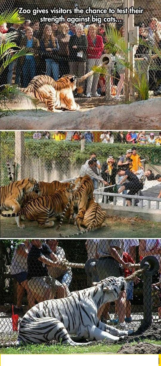 cool-tiger-zoo-rope-people