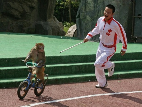 A monkey rides a bike chased by its trainer during a race against other animals during the 2006 Animal Olympics at the Shanghai Wild Animal Park, 28 September 2006. The event held in a large arena involves an elephant carrying the Olympic torch and various animals including zebra's and mountain goats put through a series of events such as hurdles and races. AFP PHOTO/Mark RALSTON (Photo credit should read MARK RALSTON/AFP/Getty Images)