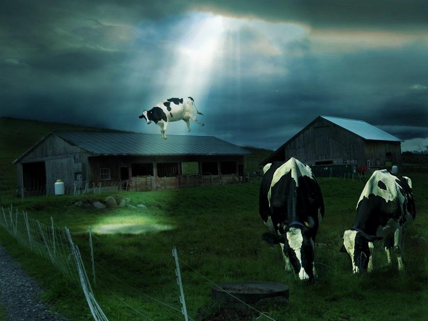 cow11