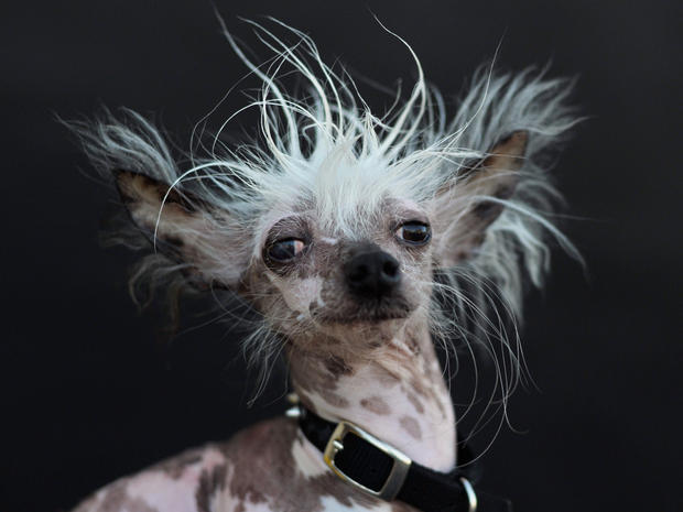 Rascal, a Chinese Crested, is poses for a portrait after competing in the World's Ugliest Dog Competition in Petaluma, California on June 26, 2015. Quasi Modo went on to win first prize as the ugliest dog in the competition.  AFP PHOTO/JOSH EDELSON        (Photo credit should read Josh Edelson/AFP/Getty Images)