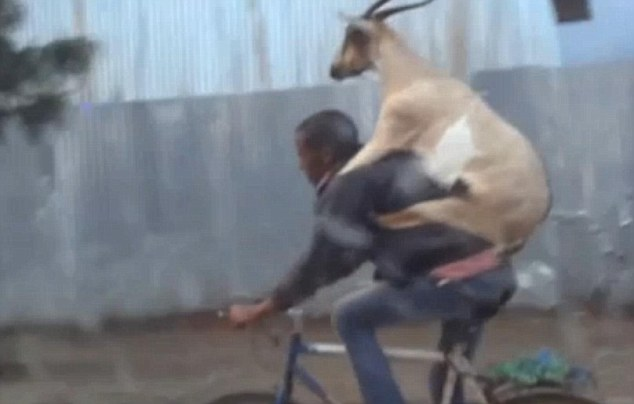 Man takes is goat for a ride