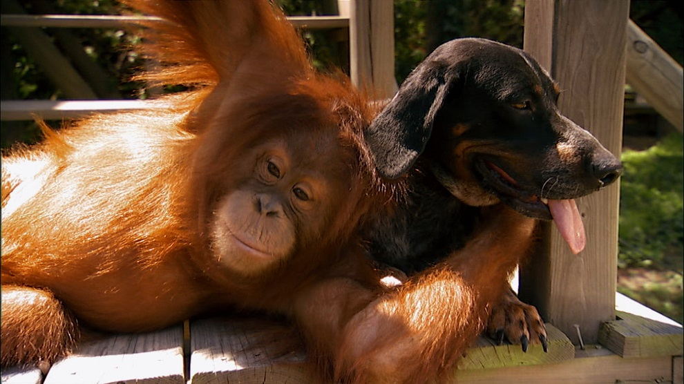 Suryia the orangutan hugging Roscoe the hound dog.    (Photo credit: © Stevi Calandra)