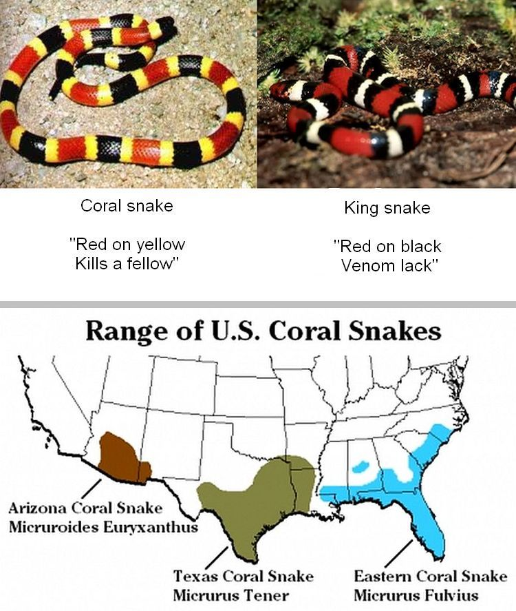 aa-coral-snake