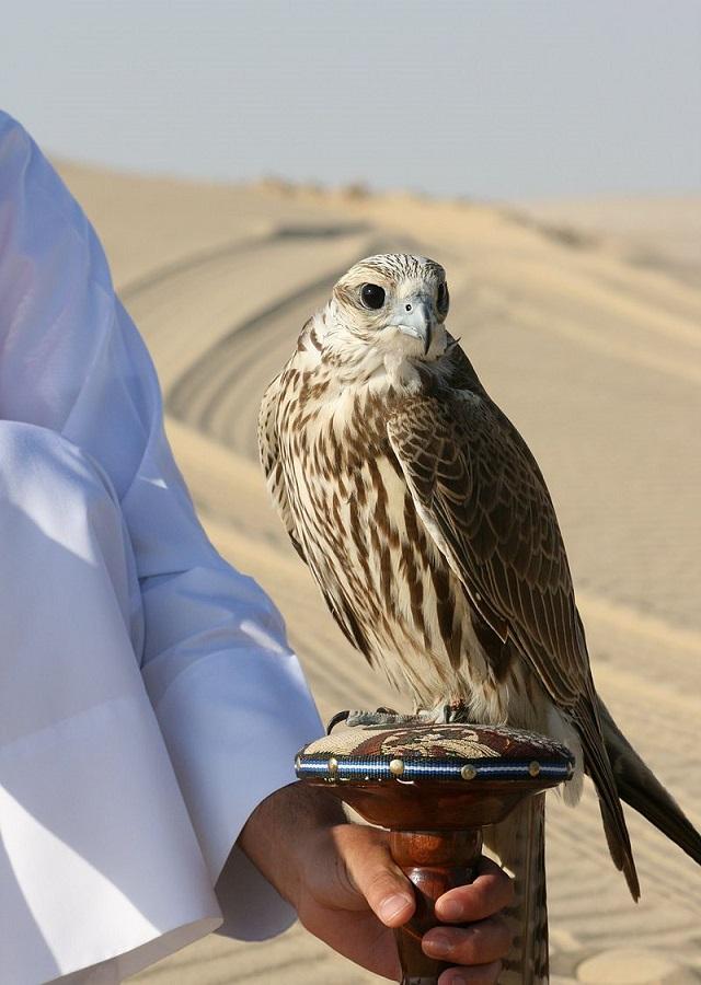 falco_cherrug_qatar